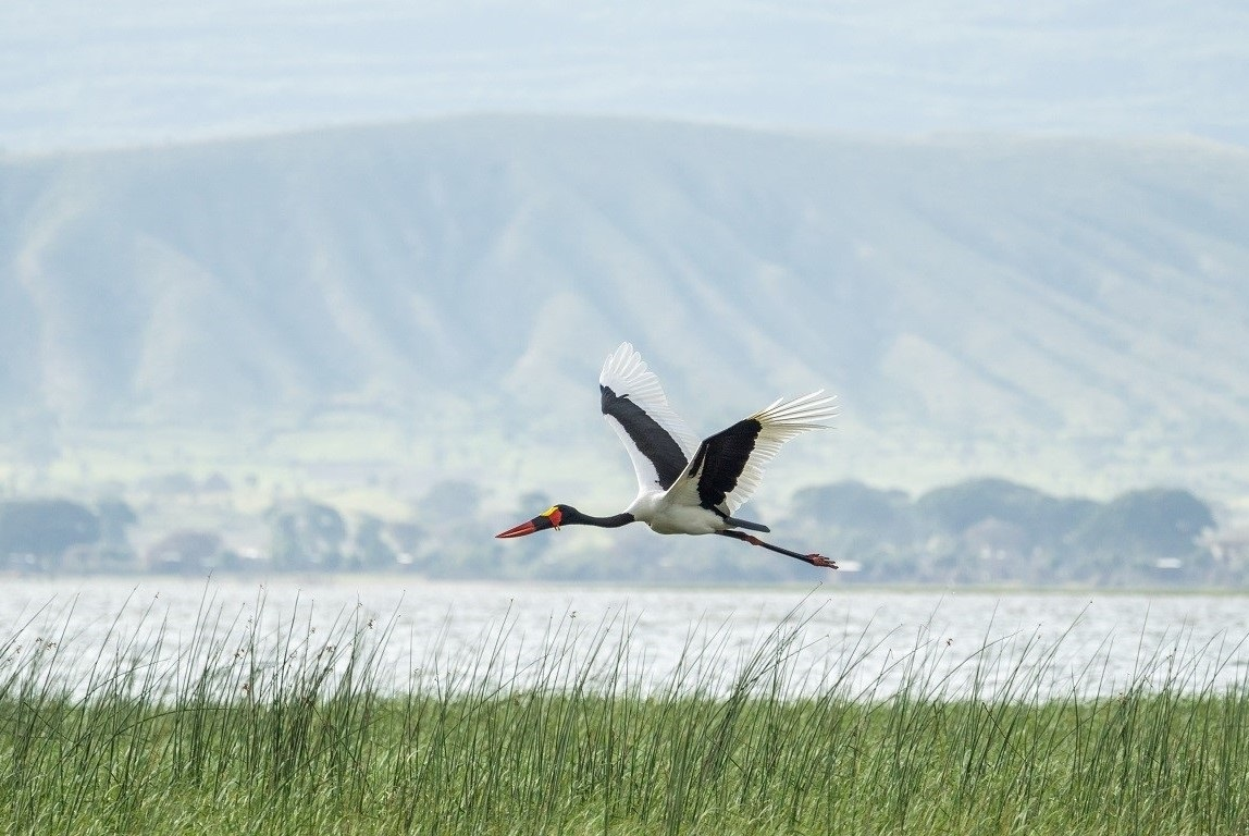 Saddle-billed stork (Ephippiorhynchus senegalensis) over Awasa Lake